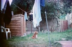 (Damionic) Tags: dog film garden line expired washing zenite