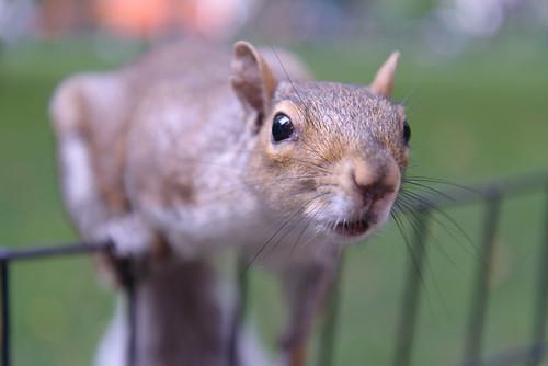 Squirrel close up in Madison Square Park