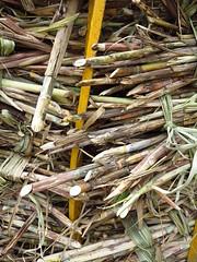 029 (alexandre.vingtier) Tags: haiti rum caphaitien nazon clairin rhumagricole distillerielarue