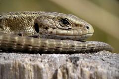 Common Lizard (Kentish Plumber) Tags: uk england macro eye nature closeup kent reptile wildlife gio lizard southeast commonlizard nbw chalkdownland zootocavivipara