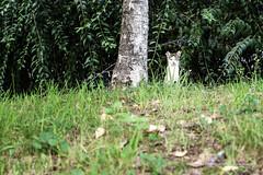 Wondang_20140829 at 18-15-27_Edit.jpg (Kim Jaehoon) Tags: green grass animal horizontal cat outdoors photography countryside asia day korea southkorea gimpo gyeonggido oneanimal colorimage gimposi photographersontumblr originalphotographers