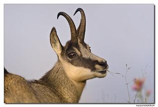 Le Chamois - Rupicapra rupicapra