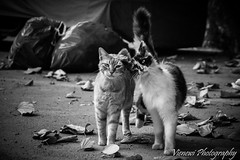 Cute cat couple (vienewi) Tags: street portrait bw cute animal cat leaf couple rubbish homless friction canon400d efs55250mm