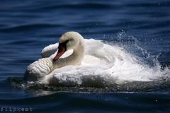 Happy (flipkeat) Tags: lake ontario bird nature happy swan different wildlife sony awesome canadian bathing mississauga mute avian birdwatcher cygnus olor a500