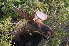 Moose Munch {Explore} (tomblandford) Tags: bullmoose denalimoose fantasticwildlife denaliwildlife mooseeatingwillow dailynaturetnc13 dailynaturetnc14