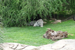 Southafrica-Cango_Wildlife_Ranch_27 (Alf Igel) Tags: africa ranch southafrica wildlife south afrika sdafrika oudtshoorn cango