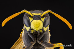 Wasp (Karlgoro1) Tags: macro eye animal closeup canon bug insect eos photo eyes focus wasp outdoor stack 7d f28 stacker mpe 65mm greatphotographers zerene specinsect macrolife