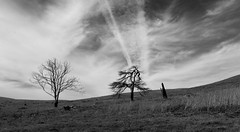 Tree Trilogy I_bw (Joe Josephs: 3,166,284 views - thank you) Tags: california californialandscape harmonycalifornia joejosephs landscapes travel travelphotography adventurephotography californiacoast countryside hiking land landscape landscapephotography outdoorphotography parks rural rurallandscape â©joejosephs2017 blackandwhitephotography blackandwhite trees tree ©joejosephs2017 counrtyside