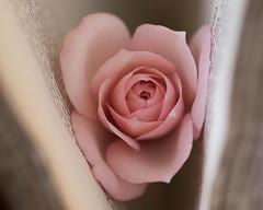 In Between (V Photography and Art) Tags: inbetween macromondays macro rose pink book soft delicate flower thespaceinbetween closeup dof petals pinkrose vintagebook troughherlens