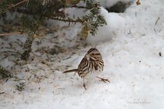 Song Sparrow (shutterbug40) Tags: songsparrow backyardbird millet signofspring barrie ontario
