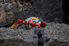 320-Galapagos_Houwing (Beverly Houwing) Tags: beverlyhouwing 2017 squidgallery island galapagos equator ecuador pacificocean sancristobal cerrobrujo crab sallylightfootcrab lavarocks cove