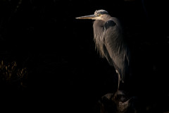 Great Blue Heron, Accomack County, VA [Explore 26 February 2017] (Blackrock23) Tags: bird heron greatblueheron nikond500 nikon300mmpf