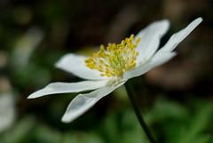 Signs of spring (brittajohansson) Tags: macro flower woodanemone spring signofspring march wood flowers anemonenemorosa beauty