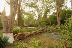 Uprooted trees at the campus (Saleh Reza) Tags: bird ecology university disaster imaging ru rajshahi pakhi