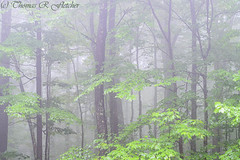 Spring Mist  Monongahela National Forest (travelphotographer2003) Tags: usa mist green ecology beauty fog forest spring solitude foggy westvirginia serenity serene appalachianmountains alleghenymountains monongahelanationalforest hardwoodforest mixedhardwoods