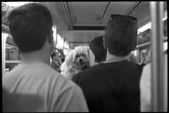 Commuter (mtigas) Tags: leica nyc newyorkcity bw dog newyork film zeiss 35mm puppy subway kodak tmax iso400 rangefinder mta m3 4train tmax400 kodaktmax400 sonnar zm leicam3 400tmy r142 r142a csonnart csonnart1550 canon9000f