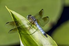 Dragon Fly (lionhunter32) Tags: dragonfly ct woodbridge konaldspond