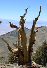 Ancient Bristlecone Pine (Life_After_Death - Shannon Day) Tags: life california ca old white mountain mountains tree art pine forest canon landscape botanical photography eos death ancient day shannon valley after dslr botany canondslr bishop canoneos bristlecone owens methuselah lifeafterdeath 50d shannonday canoneos50d canon50d canon50ddslr canon50deos canoneos50ddslr canoneod50ddslr canondsler lifeafterdeathstudios lifeafterdeathphotography shannondayphotography shannondaylifeafterdeath