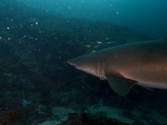 grey nurse (ce2de2) Tags: ocean fish shark underwater diving scubadiving reef coffsharbour greynurseshark southsolitaryislands visibility1015m