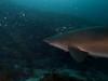 grey nurse (ce2de2) Tags: ocean fish shark underwater diving scubadiving reef coffsharbour greynurseshark southsolitaryislands visibility1015m