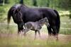 20140706_055967 (koppomcolors) Tags: horses horse sweden sverige konie värmland häst hästar varmland koppom sporthorses koppomcolors