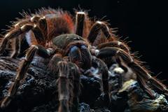 Acanthoscurria brocklehursti, adult female (_papilio) Tags: macro canon spider nikon arachnid tarantula invertebrate papilio arthropod theraphosidae mpe65 d800e