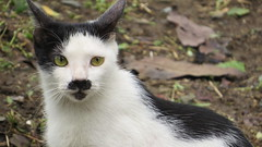 sieg heil (SMILE) (DOLCEVITALUX) Tags: cat funny hitler humor chaplin