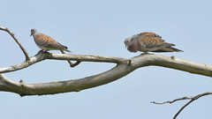 Turtle Dove Courtship Display (image 1 of 2) (Full Moon Images) Tags: male bird nature pits female display turtle dove wildlife reserve paxton courtship