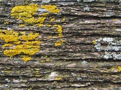 aged wood (rpiker101) Tags: statepark park newzealand texture timber historic northisland lichen aged waitangi