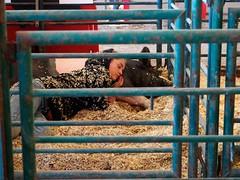 Girl & Pig. (companyfromechoes) Tags: sleeping girl pig alamedacountyfair