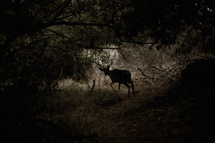 Deerly Departed (SkylerBrown) Tags: trees nature animal animals silhouette forest dark woods shadows sad ghost deer pacificgrove depressing