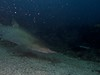 Grey Nurse Julian Rocks (ce2de2) Tags: ocean fish shark underwater diving scubadiving reef byronbay greynurseshark visibility1012m