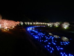 Night Cherry Blossoms and Shooting Stars Festival (izunavi) Tags: flower japan night sakura cherryblossoms shizuoka izu minamiizu shizuokaprefecture minamiizutown nightcherryblossoms inoriboshi izunavitwitter izuphoto kawazuzakuracherryblossomsandrapeblossomsfestival nightcherryblossomsandshootingstarsfestival amanogawaproject
