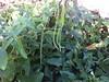 My okra