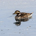Long-tailed Duck (Clangula hyemalis) adult female