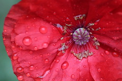 Soggy Poppy (thorburns) Tags: flowers summer colour detail macro petals stem stamen stunning pollen waterdrops flimsy fragile bold
