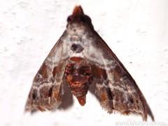 Unknown family - NMW 24 July 2014-345 (Dis da fi we) Tags: belize moth mothweek nationalmothweek nature puntagorda toledo wildlife cottages hickatee