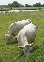 Feeding time (Neil Pulling) Tags: cattle riverside feeding ely cambridgeshire eastanglia greatouse isleofely