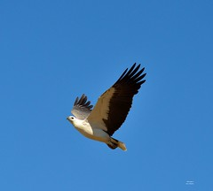 DSC_0052 (RUMTIME) Tags: bird nature birds fly flying flight feathers feather queensland seaeagle coochie coochiemudlo
