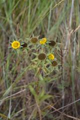 Pallenis spinosa (esta_ahi) Tags: barcelona espaa flores yellow spain flora flor asteraceae peneds compositae silvestres spinosa mediona  fontrub pallenisspinosa pallenis serragavatxa