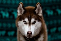 Misha (rightfootfirst) Tags: dog canon husky 85mm