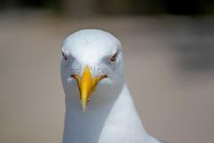 Gaviota (saizdpssonia) Tags: bird birds pajaros angry pajaro enfado angrybird