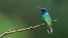 White-necked Jacobin (Raymond J Barlow) Tags: travel blue white green costarica hummingbird wildlife adventure jacobin raymondbarlowphototours