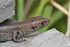 Baby Common Lizard (Dragonwings55) Tags: lizards commonlizards uklizards