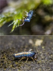 Lepidocyrtus paradoxus (Springtail / Springschwanz / Collembola) (just_me78) Tags: macro nature animals closeup insect tiere natur makro insekt springtail springschwanz collembola gx7 lepidocyrtusparadoxus