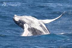 Baby Whale Breaching (Sea World Whale Watch) Tags: brisbane whale humpback seaworld calf humpbackwhale whalewatching breach humpbackwhales babywhale babyhumpbackwhale whalewatchinggoldcoast seaworldwhalewatch seaworldcruises seaworldwhalewatching whalewatchingtoursaustralia