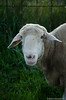201408-Scharfe-7127 (jerdlingshof) Tags: green sheeps wz scharfe erdlingshof
