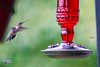 Competition (The Suss-Man (Mike)) Tags: bird nature animal georgia dof hummingbird bokeh gainesville hallcounty bokehlicious thesussman sonyalphadslra550 minoltaafreflex500mmf8 sussmanimaging