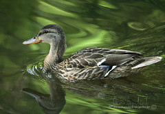 duck refection 2