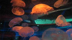 Jellyfish Under LED Lighting (shaire productions) Tags: ocean lighting light sea wild fish water beauty animal swimming photography aquarium photo jellies jellyfish underwater tank image wildlife picture led jelly creature imagery academyofsciences